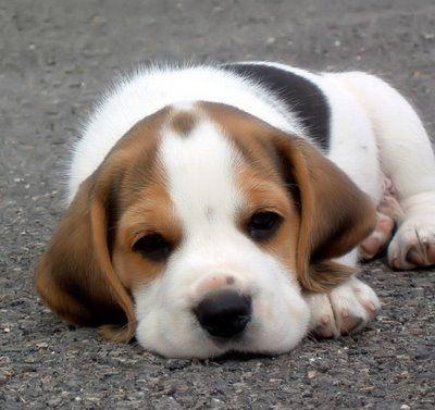 Fotos mascotas perro perezoso