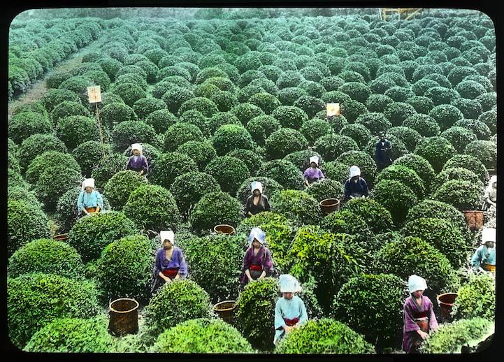 fotos producción té